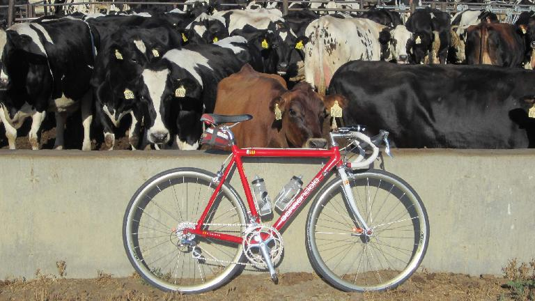 Cows and Cannondale.
