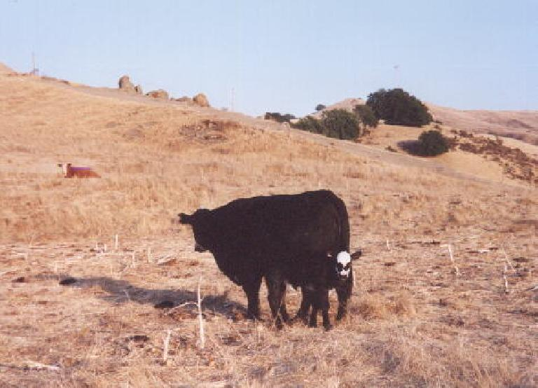 [Mission Peak, Sep 2001] Mother and baby cow, how cute. Photo: Sarah Toas.